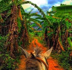 #Aventuras en #Viales #Cuba  #Horseriding traveling in Tabacco Farm #Cohiba  Visit Us.  #CubaTravel for you #TourGuide Casa Renga y Julia VisitUs. #UNESCO Area CasaVinales.jimdo.com (Casa Particular Vinales) Tags: cuba unesco horseriding tourguide cohiba aventuras viales cubatravel