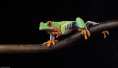 Paparazzi (susie2778) Tags: studio flash olympus frog captive bournemouth agalychniscallidryas redeyedtreefrog 60mmmacrof28 captivelight omdem5mii