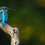 Common Kingfisher, Alcedo atthis in Khao Yai national park thumbnail