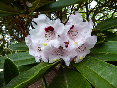 Rhododendron (Mabacam) Tags: park pink nature garden outdoors surrey rhododendron shrub parkland virginiawater 2016 greatwindsorpark virginiawaterlakes