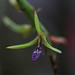 4Q4B4118_Bulbophyllum cardiobulbum (Fleur)