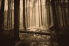 The enchanted forest (MR@tter) Tags: forest de deutschland natur nrw wald bume nordrheinwestfalen gegenlicht sauerland herscheid nordhelle tamron1750 mrkischerkreis