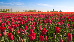 Tulip season in the Netherlands! (wimzilver) Tags: polafilter polarisatiefilter wimzilver wimboon canonef2470mmf28liiusm canoneos5dmarkiii