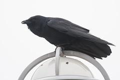 Fish Crow (sjdavies1969) Tags: birds animals us unitedstates delaware crows animalia bethanybeach vertebrates corvusossifragus fishcrow corvidae jaysandmagpies