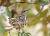Hummingbird chicks (ejbSF) Tags: sanfrancisco cute home birds hummingbird places chicks critters hummingbirds