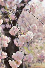 (peyt0nnn) Tags: pink flower tree japan cherry japanese tokyo shinjuku branch blossom cherryblossom sakura   shinjukugyoen