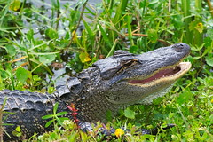 DSC_0104 (james_tolson) Tags: florida crane wildlife gators sandhill sandhillcranes alligators