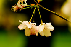 20160424-07_Soft Pastels (extreme adjustment) (gary.hadden) Tags: park flowers macro tree spring memorial pretty romantic coventry floweringcherry topgreen
