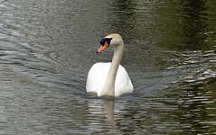 Boeggolf (Olga and Peter) Tags: swan diemen zwaan boeggolf fp1110072