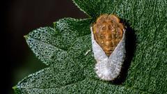Look at my human face! (chandra.nitin) Tags: india macro nature animal insect pareidolia delhi id newdelhi deerpark mealybug drosicha