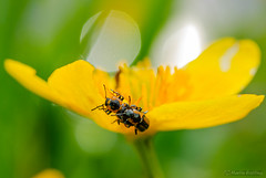 Two little beetles on a marsh-marigold (merstling) Tags: flower macro green nature water yellow closeup bug spring blossom beetle happyness pairing marshmarigold calthapalustris kingcup