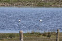 Avocet (16) (Mal.Durbin Photography) Tags: nature birds newport naturereserve newportwetlands maldurbin goldcliffnewport