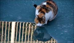boire un petit coup..... (FAFALAP) Tags: chat eau reflet