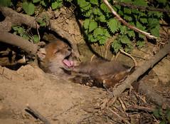 Fxchen (Deranged Cousin) Tags: baby animal fauna wildlife yawn fox fuchs babyanimal