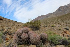 Pink Berrel Cactus (daveynin) Tags: blue cactus sky mountains cacti death flora nps wilderness spines partlycloudy vallety pinkberrelcactus