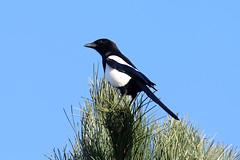 Pie (totoro - David D.) Tags: sky bird nature birds pie fly flying flight ciel vol oiseau oiseaux aile ailes