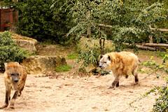 Deux hynes (eminorah) Tags: zoo run course poursuite fuite amnville hyne enmouvement ddwe