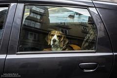 Dolce sguardo (-Andreyes- www.andreabastia-photo.com) Tags: auto italy dog cane photo italia andrea sguardo macchina animale trieste bastia facebook friuliveneziagiulia wwwandreabastiaphotocom