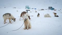 Outdoor kennels (Lil [Kristen Elsby]) Tags: arctic greenland dogsledding sleddogs travelphotography ilulissat jakobshavn westgreenland vestgronland greenlandicdogs canong12