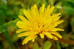 Dandelion (dtroi17) Tags: flower yellow spring meadow wiese dandelion gelb springtime frhling lwenzahn
