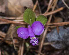 Fringed Polygala In Bloom (Odonata457) Tags: county green forest unitedstates state maryland ridge fringed allegany flintstone polygala paucifolia