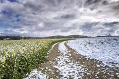 Raps im Schnee (blichb) Tags: schnee bayern deutschland natur feld landschaft raps frhling rapsfeld 2016 fnfseenland leicaq inningamammersee blichb wintereibruch