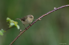 Willow Warbler-Phylloscopus trochilus. (PANDOOZY PHOTOS) Tags: bird nature birds spring nest song wildlife small willow gathering material collect collecting warbler nesting songbird gather collects warblers passeriformes phylloscopus gathers sylviidae trochilus