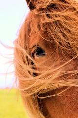 IMG_9957 (fraroan) Tags: paarden ponys tolt rijden paardrijden ijslander ijslandse ijslanders fraroan telgang westbemster