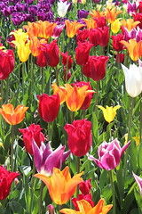 A Rainbow of Tulips (Tomsde) Tags: flowers spring tulips longwoodgardens