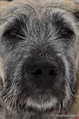 160430 Erynn 15 weeks-87-Edit (Shepherd) Tags: snow puppy spring colorado wheaton littleton wolfhound irishwolfhound 15weeks erynn nikkor70200mmf28 nikond4s seaton