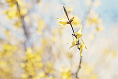 Collect moments...not things. (Sandra H-K) Tags: flowers plant tree nature sunshine yellow outside spring dof bokeh outdoor branches blossoms sunny depthoffield forsythia springtime hbw bokehwednesday