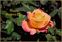 Mother's Day rose portrait 4 30 2016 (rbdal (Rick Dalrymple)) Tags: rose yellow oregon portland spring nikon peach greeting mothersday rosegardens multnomahcounty internationalrosetestgarden d7000