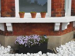 120:365, 2016, Campanula and three pots IMG_6247 (tomylees) Tags: window project garden kent pots april 365 friday campanula 29th ramsgate 2016