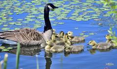 Goslings  (D500 image) (jt893x) Tags: bird geese nikon g sigma goose m goslings canadagoose d500 nikond500 150600mm sigma150600mmf563dgoshsms