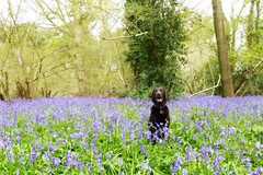 Beauty in the Bluebells! (skoop102) Tags: flowers trees brown flower nature bluebells woodland woods labrador chocolate bluebell warwickshire woodlandtrust pilescoppice labradorcross