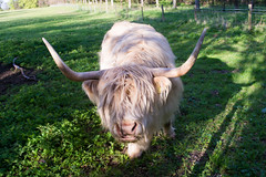 Horned (Stray Toaster) Tags: park cambridge cow country highland horn wandlebury