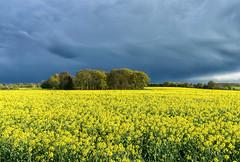 Yellow Mood (jactoll) Tags: flowers light sky field yellow zeiss landscape spring mood moody sony f4 warwickshire rapeseed a6000 1670mm jactoll littleshrewley