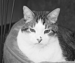 Relaxing (Captured by AMK) Tags: blackandwhite cats pets cat feline felines petphotography