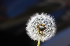 Dandelion 2 (megforce1) Tags: flowers nature floral weeds wish dandelions