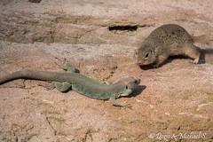 Ziesel / European Ground Squirrel (Doris & Michael S.) Tags: animals zoo tiere tiergarten