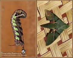 Metamorfose - Eumorpha labruscae (Marquinhos Aventureiro) Tags: brazil brasil wildlife natureza moth caterpillar vida mariposa floresta lagarta metamorfose metamorphose selvagem hx400