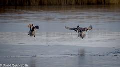 (DavidQuick) Tags: england ice reserve ducks hampshire landing marsh pintail wildlifetrust farlington copyrightdavidquick2016