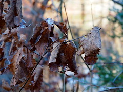 Wrinkled winter leaves (pilechko) Tags: winter color leaves bokeh pa newhope bowmanshill