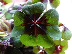 Good luck (Travelling and more) Tags: new year charm lucky clover fourleaf glck kleeblatt cloverleaf