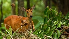 Northern Red Muntjac, Muntiacus vaginalis in Khao Yai national park (tontantravel) Tags: red female mammal indian deer northern mammals barking muntjac barkingdeer muntiacus indianmuntjac redmuntjac vaginalis northernredmuntjac muntiacusvaginalis