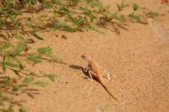 Oman Desert Lizard