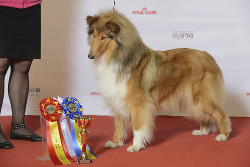 COLLIE, LÅNGHÅRIG, Speedycrown's It's A Miracle Succes