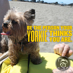 I try hard every day  how about you (itsayorkielife) Tags: yorkie quote yorkshireterrier yorkiememe