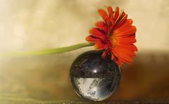 Pause (charhedman) Tags: flower macro reflection glass bokeh marble gerberdaisy