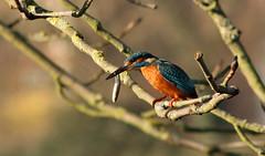 Kingfisher with stickleback... (petegatehouse) Tags: uk colour tree bird fishing branch bokeh kingfisher perched hungry herts hemelhempstead stickleback